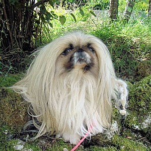 pekinois-22274-copie-1