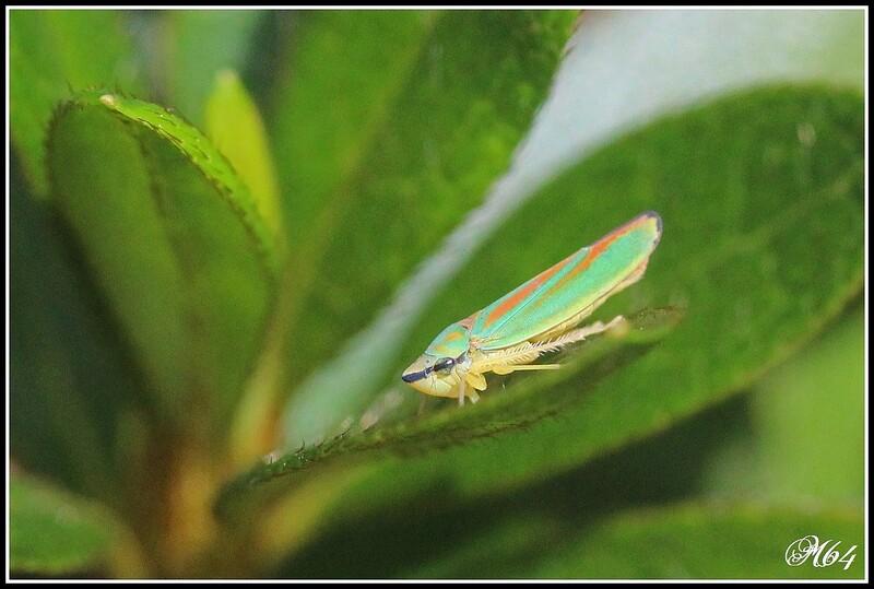 La cicadelle : Graphocephala fennahi