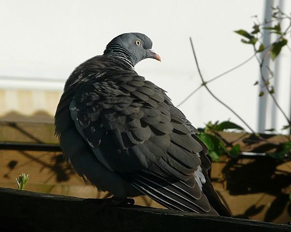 Pigeon-05-05-09-016.jpg