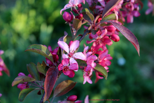 Malus 'Diable Rouge'