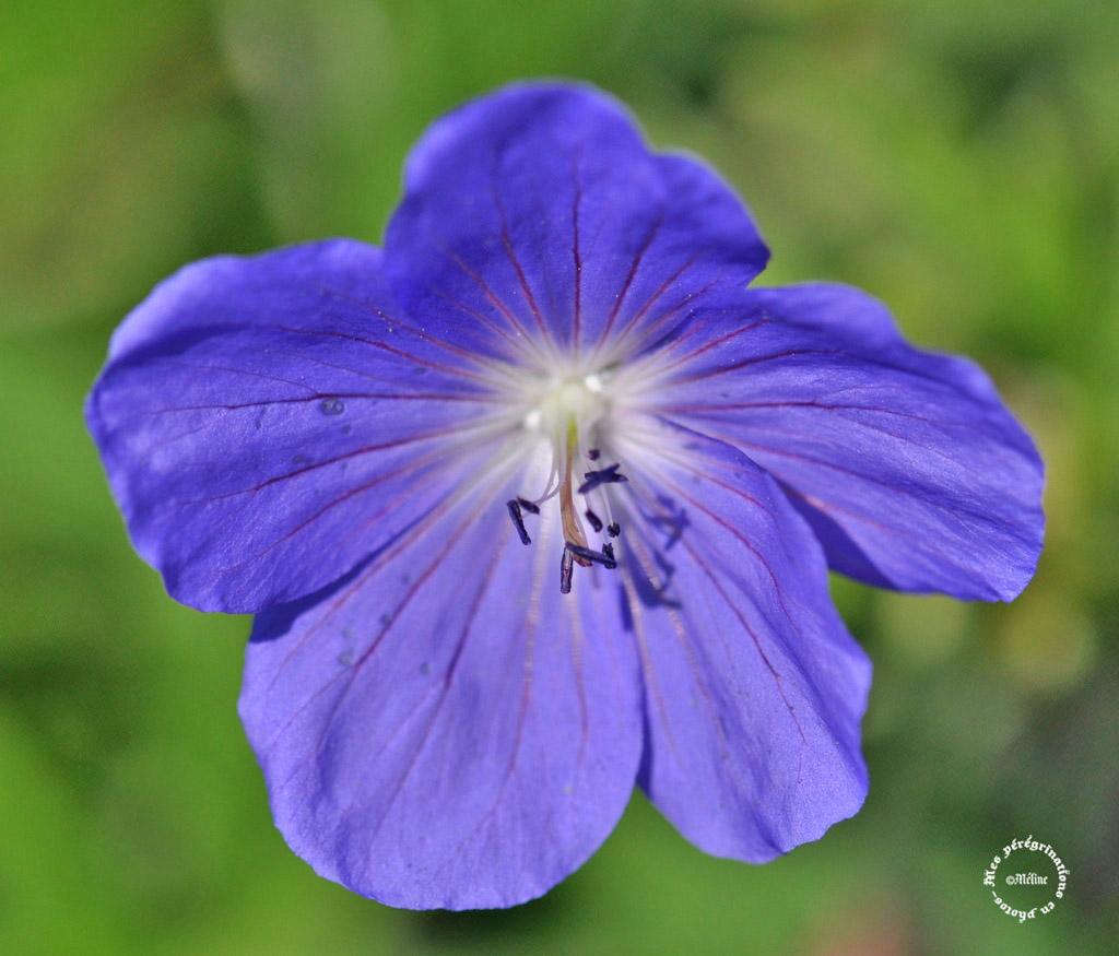 Mon jardin - Quelques fleurs (5)