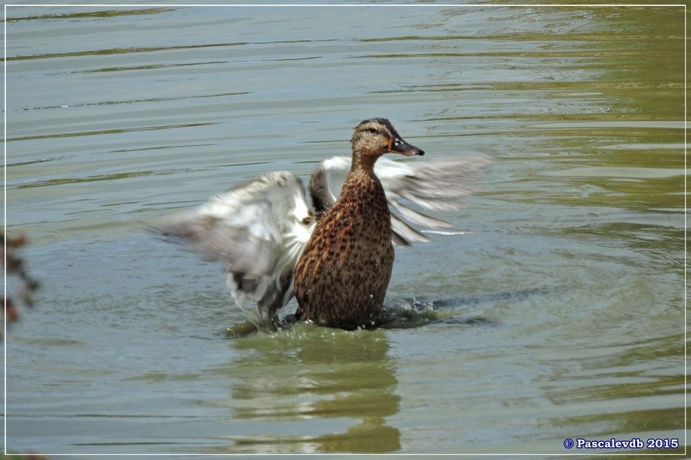 Réserve ornitho du Teich - fin Juilet 2015 - 5/9