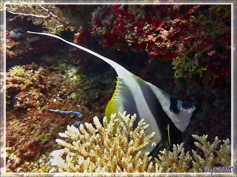 Poisson cocher commun, Pennant coralfish, Longfin bannerfish, Reef bannerfish (Heniochus acuminatus) - Petit Castor - Nosy Tsarabanjina - Nosy Mitsio - Madagascar