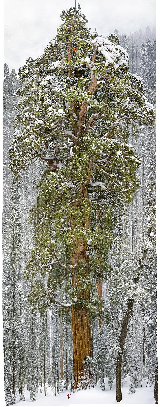 Un sequoia de plus de 3000 ans