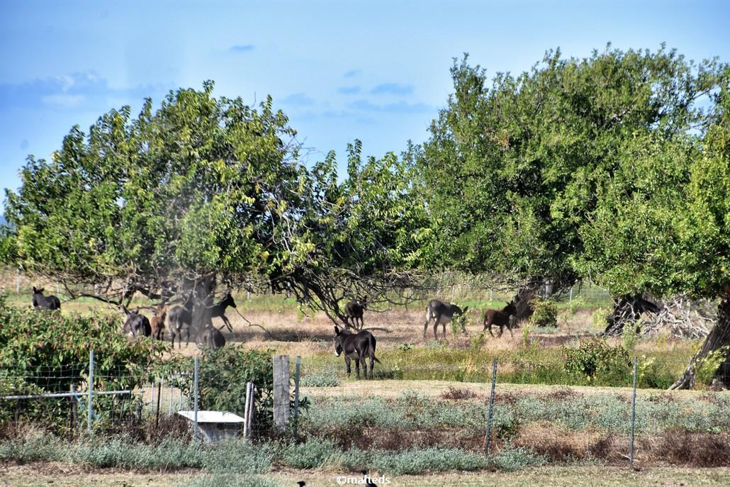 Les ânes d'Ile-Rousse