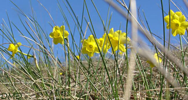 Narcissus assoanus - narcisse d'Asso
