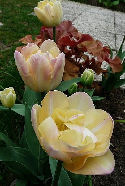Tulipe-Double-creme--19-04-10-008.jpg