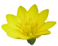 Chlore perfoliée