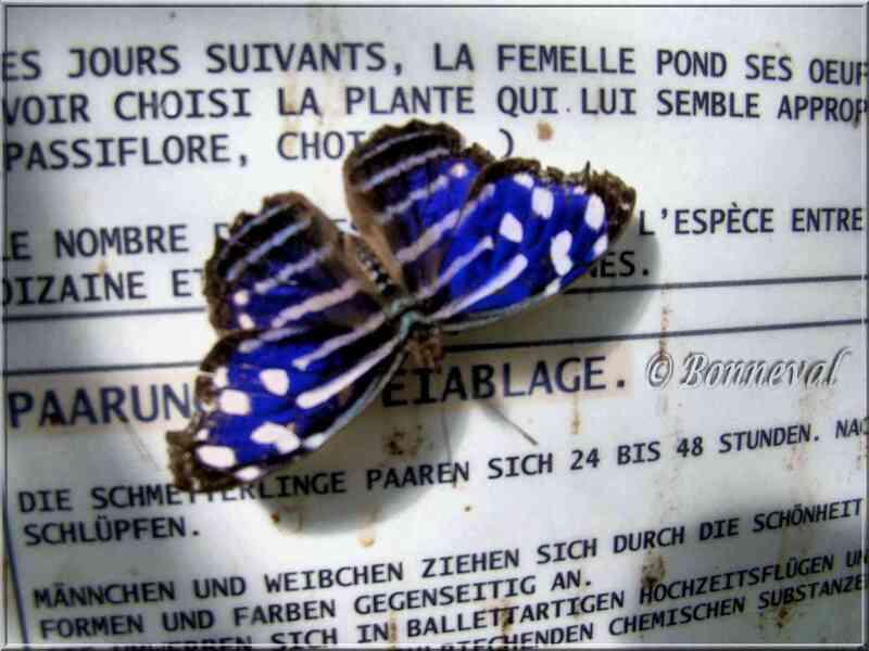 Papillons tropicaux Myscelia cyaniris Nymphalidae