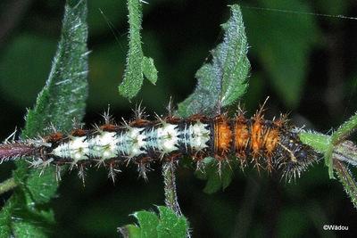 Le Robert-le-Diable  (Polygonia c-album)  Nymphalidae