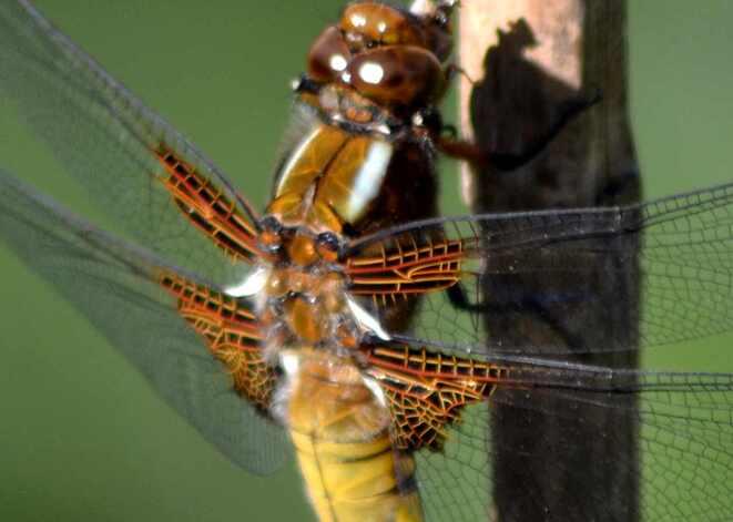 """Un petit coucou avec cette """"libellule déprimée"""" dans mon jardin en ville !!"""
