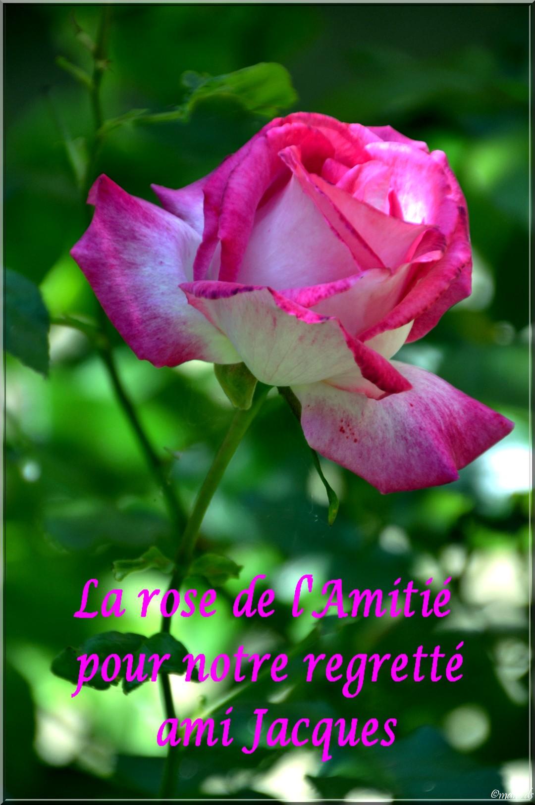 Une rose pour notre regretté ami Jacques