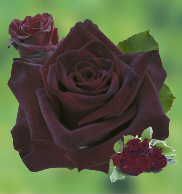 A propos des roses noires