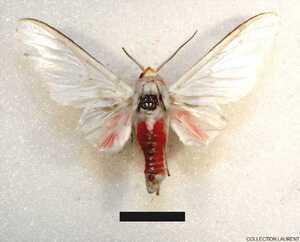 Eupsodosoma