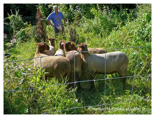 Saumur : Présentation des brebis - Presentation of ewes