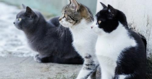 Influence de la couleur du chat sur son comportement