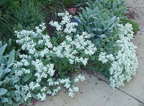 Fleurs cultivées : Euphorbe
