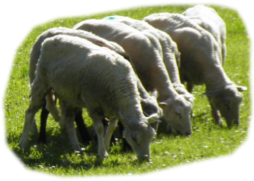 Tubes moutons