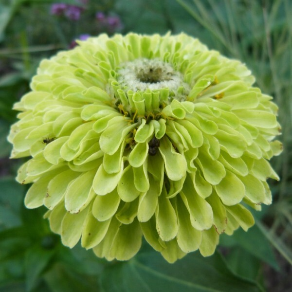 zinnia-queen-lime---fleur---juillet-2014--800x800-.jpg