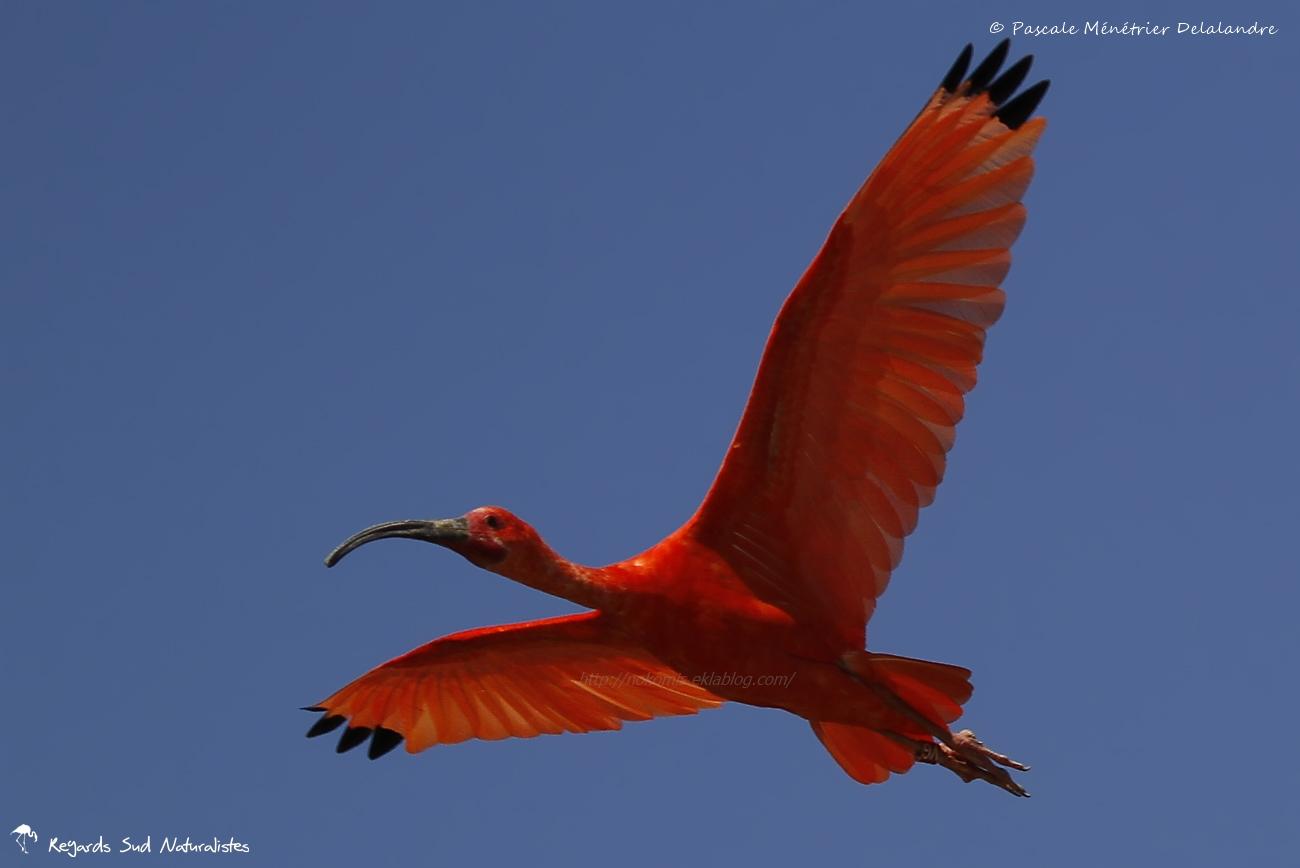 Ibis rouge - Eudocimus ruber - Scarlet Ibis
