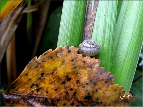 Ashfordia granulata,