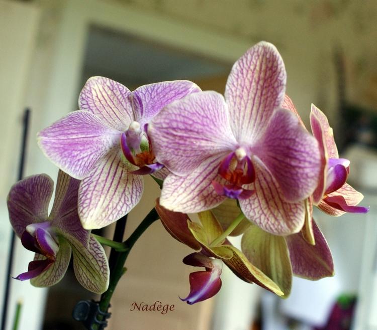 Jolie floraison pour mes orchidées...