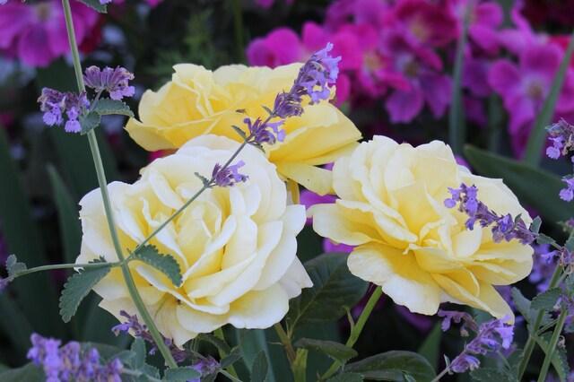 rose jaune 'Michelangelo' de Meilland