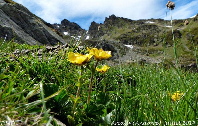 Geum montanum  -  benoîte des montagnes