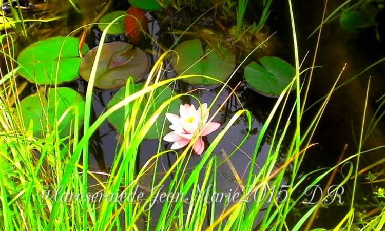 dans mon jardin le bassin tout les ans magnifique