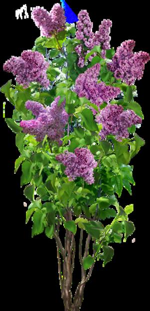 Défi 73:Lilas au jardin