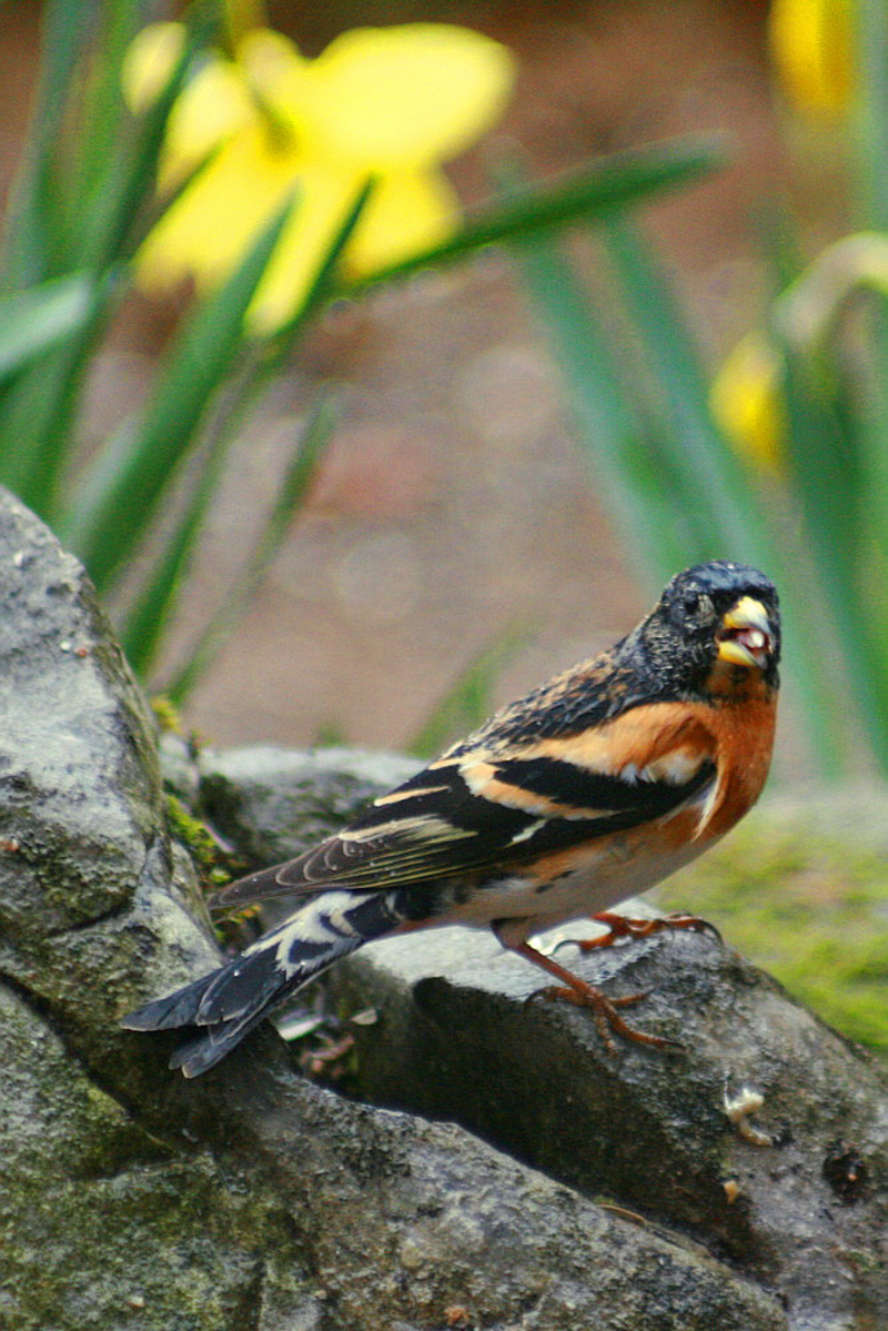 Pinson du nord mâle en livrée nuptiale - Lartigau - Milhas - 31