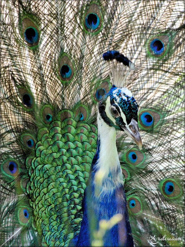 Photo de Paon bleu - Marais aux Oiseaux