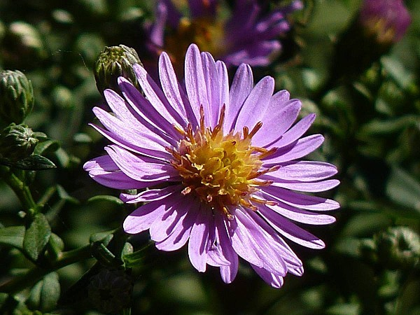 Aster 20-09-003