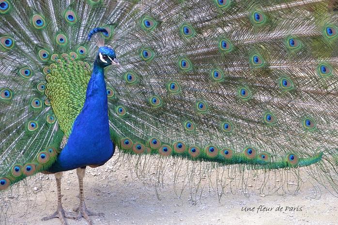 Parc Floral de Paris : La roue du Paon bleu