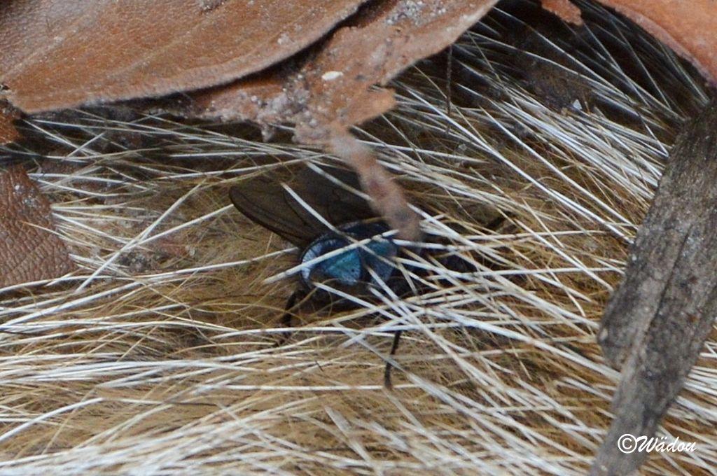 Mouche bleue