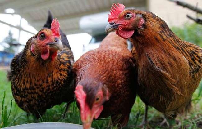 Nantes: des poules, un lapin et une tortue massacrés dans un jardin pédagogique à Rezé
