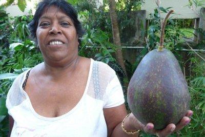 Un avocat géant de 1,7 kg cueilli à Petite-Ile