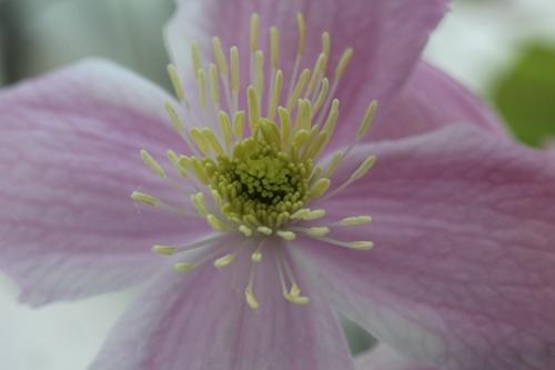 Clematide montana Mayleen