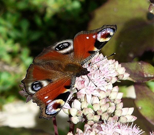 Papillon-Paon-du-Jour--11-09-11-019-copie-1.jpg