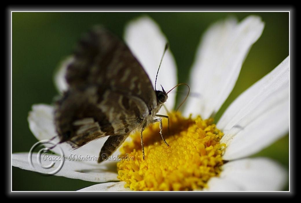 Brun du pélargonium sur Anthémis blanc...