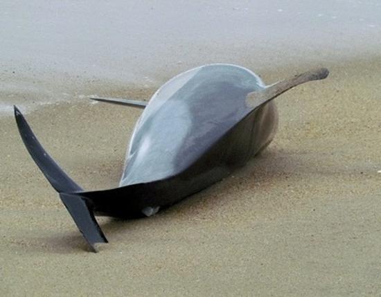 3000_dauphins_morts_sur_les_cotes_du_Perou