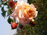 commande de rosiers 2015