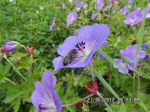 fleurs-du-27-Juin-003.JPG