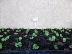 Les semis poussent... ici Basilic