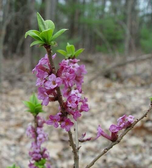 Fleur cultivée : Daphné