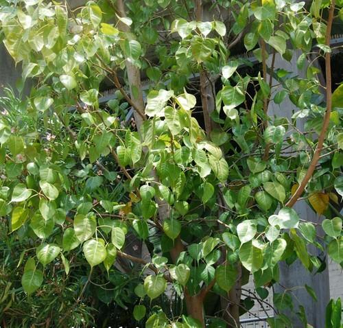 bo tree2
