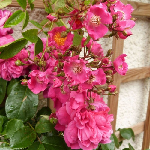 massif-des-treillages---rosier-maria-lisa-et-sangria.jpg