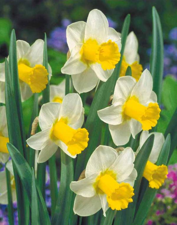 tulipes narcisses jardin collège lutterbach