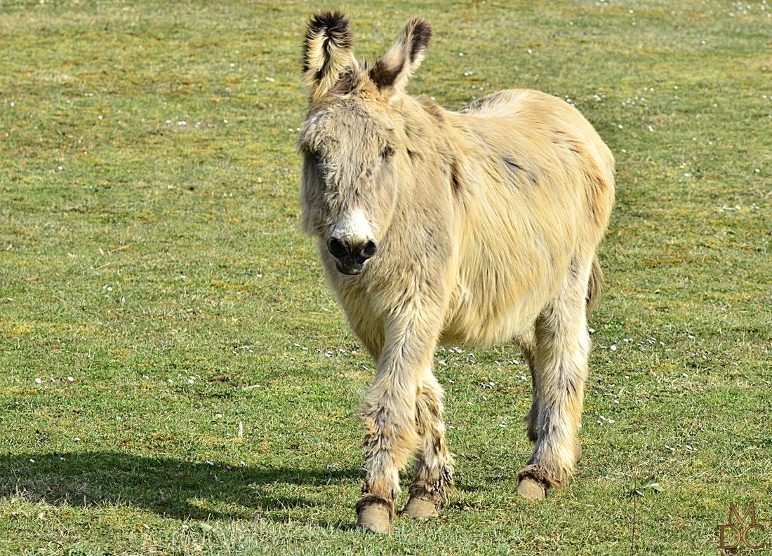 Basile, âne du Cotentin