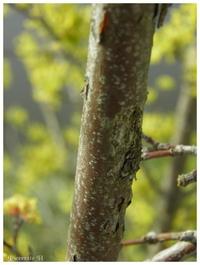 Cornouiller mâle